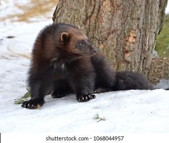 "Wolverine, Gulo gulo (Gulo is Latin for ""glutton""), also referred to as glutton, carcajou, skunk bear, or quickhatch, in winter"