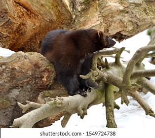 """Wolverine, Gulo gulo (Gulo is Latin for """"glutton""""), also referred to as glutton, carcajou, skunk bear, or quickhatch, in forest"""