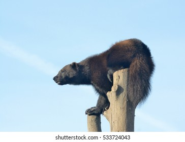 Wolverine (Gulo Gulo) looks around from a tree