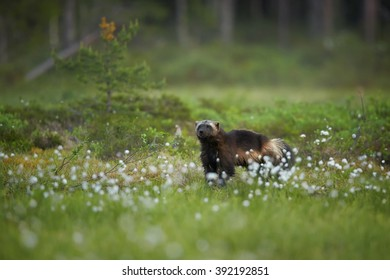 Wolverine, Gulo gulo, in the meadow  in nordic taiga against blurred dark green forest in background. Late spring, Scandinavia.