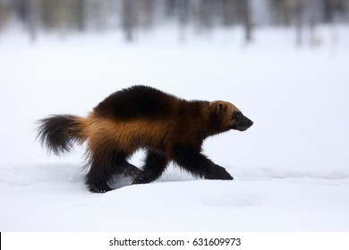 The wolverine (Gulo gulo) on the snow.Wolverine runs along a high snow mound in the Nordic forest. Big scandinavian predator in winter.