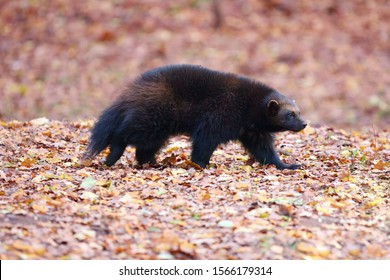 The wolverine (Gulo gulo), also referred to as glutton, carcajou, skunk bear, or quickhatch running in brown autumn leaves. Wolverine in motion in deciduous autumn forest.