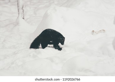 Wolverine (gulo gulo) with snow and white background in the finland zoo