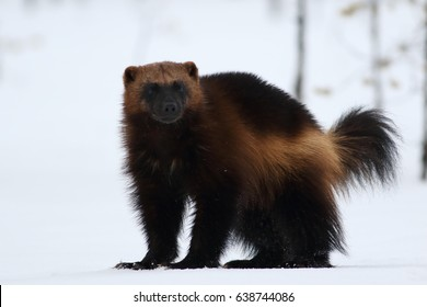 Wolverine (gulo gulo) with snow and white background