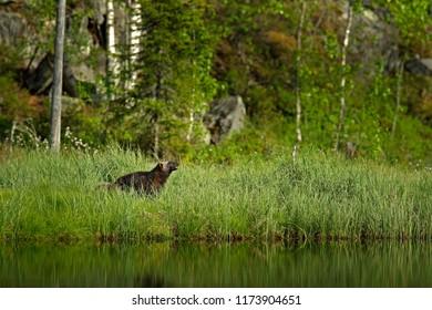 Wolverine habitat in Finnish taiga. Wildlife scene from nature. Rare animal from north of Europe. Wild wolverine in summer cotton grass. Animal behaviour in the habitat, Finland.