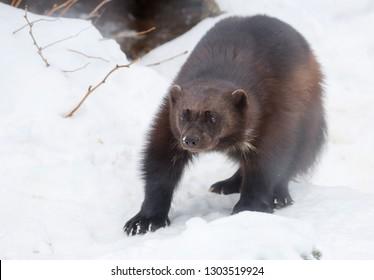 Wolverine. Wolverine is the largest representative of the marten family. Wolverines are great at climbing trees. Wolverine is able to kill an animal 5 times more, for example, of an elk.