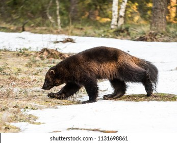 Wolverine looking for food in Finnish forest.