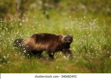 Wolverine on the hunt in the morning sun in the Finnish taiga