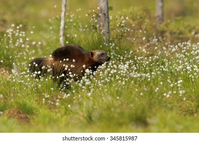 Wolverine  on hunt running through  spring meadow in blossom, lit by morning sun, green Finnish taiga in background