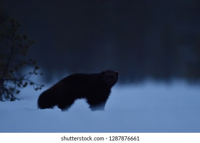 Wolverine on snow at night