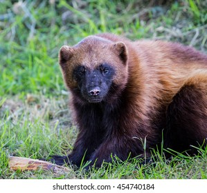 a wolverine playing with a log