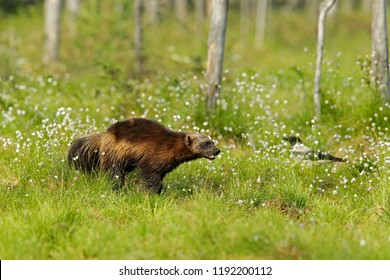 Wolverine running in Finnish taiga. Wildlife scene from nature. Rare animal from north of Europe. Wild wolverine in summer cotton grass. Animal behaviour in the habitat, Finland.