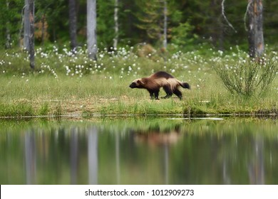 Wolverine running in a forest landscape