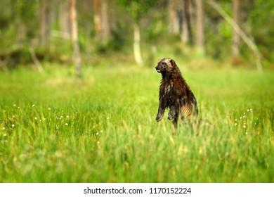 Wolverine standing in Finnish taiga. Wildlife scene from nature. Rare animal from north of Europe. Wild wolverine in summer green cotton grass. Animal behaviour in the habitat, Finland.