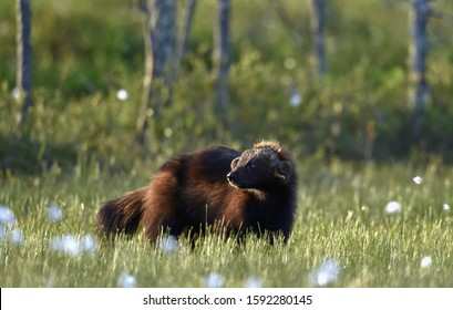 Wolverine in wild nature. Natural habitat. Glutton, carcajou, skunk bear, or quickhatch (gulo gulo)
