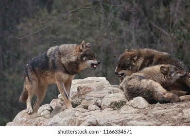 Wolves attack each other
