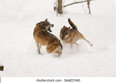 wolf attack images stock photos vectors shutterstock
