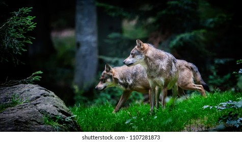 Wolves in the Bavarian Forest National Park, Bavaria, Germany