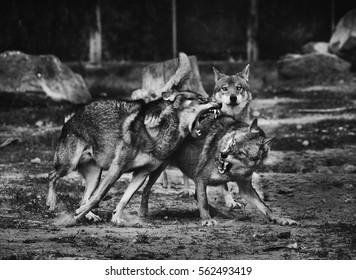 Wolves fighting, black and white photo