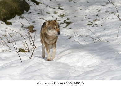 Wolves in a forest