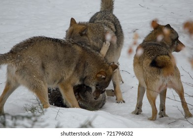 WOLVES IN FOREST