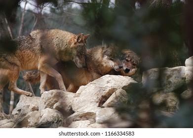 Wolves in herd