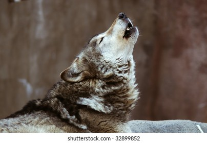 Wolves howl in Moscow Zoo