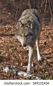 Wolves of Lakota Wolf Preserve Series