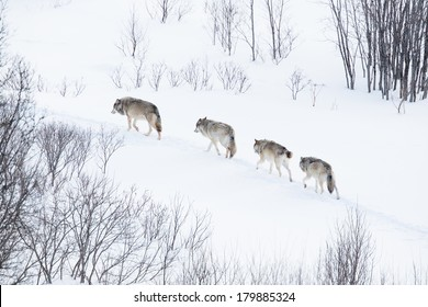 Wolves in norwegian winter forest. Snowing.