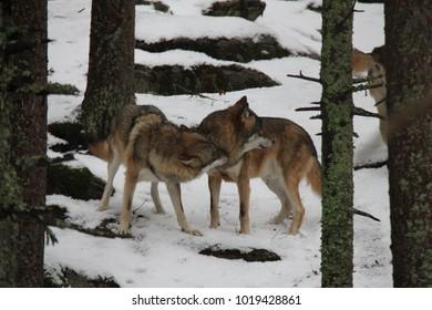 Wolves on the snow. National Park Sumava, Czech Republic.