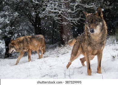 Wolves in the snow in winter in the forest