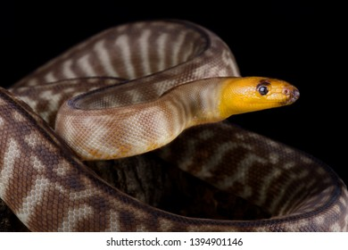 The Woma python (Aspidites ramsayi) is a beautiful python species endemic to Central Australia.
