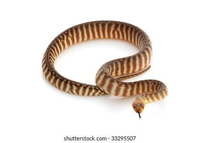 Woma Python (Aspidites ramsayi) isolated on white background.