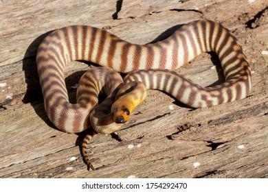 Woma Python in defence stance
