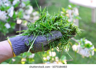 womah with protective gloves holding fresh mowed grass in hands