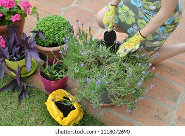 Woman adding fertilizing soil in a pot with lush lavender