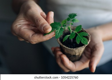 woman agronomist holding a peat pot with young seedlings of  tomato. seedlings in peat pots.Baby plants seeding, black hole trays for agricultural seedlings. unkempt hands of an adult woman close-up