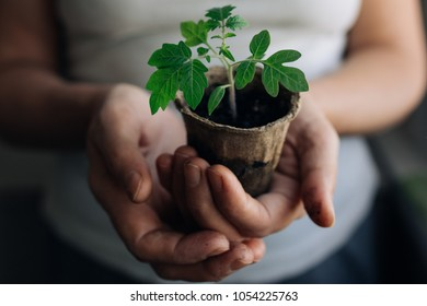Tomato Sprout In Peat Pot Images Stock Photos Vectors