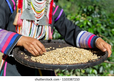 Woman Akha hill select raw coffee bean after harvest arabica coffee berries in basket wood.