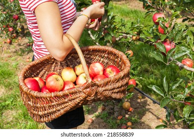 woman apple orchard