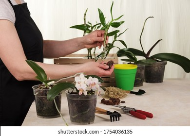 A woman in an apron near a table with garden supplies, replants orchids. Close-up.