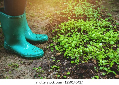 Woman asia plant agriculture vegetable. vegetable garden cultivation and separate the early growth. plant vegetable Chinese cabbage