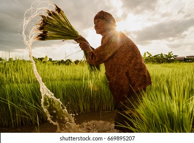 Woman Asian rice farmer working at rice field and sun ray on black cloud before rainy.Outdoor working before rainy.High speed shutter stop water drops.