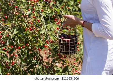Woman with a basket in her hand collects fruits
