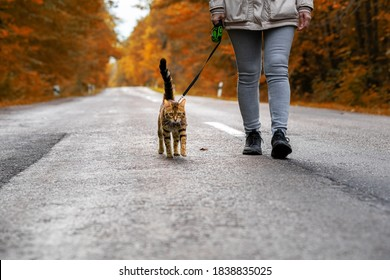 A woman with a Bengal cat on a leash walking along the road in the forest.