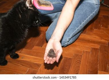 Woman is brushing black cat. Pet grooming. Fur shedding. Happy animal.