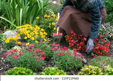 Woman cares about  flowers in the flower garden,  horticulture and the flower planting concept