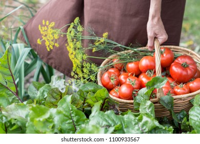 Woman caries tomatoes in a basket across vegetable garden; farming, gardening and  agriculture  concept