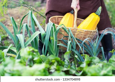 Woman carries two big zucchini through the garden,  yellow zucchini in a basket, harvest and gardening concept