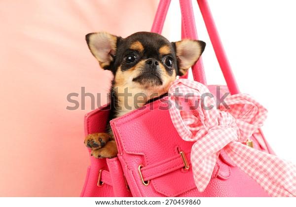 Woman carrying cute chihuahua puppy in pink bag, closeup
